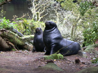 New Zealand sealions - C Hopkins